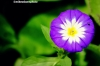 Mauve and white Convolvulus or Morning Glory flower