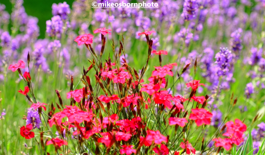 Lavender and scarlet blooms in formal garden at Shugborough Hall