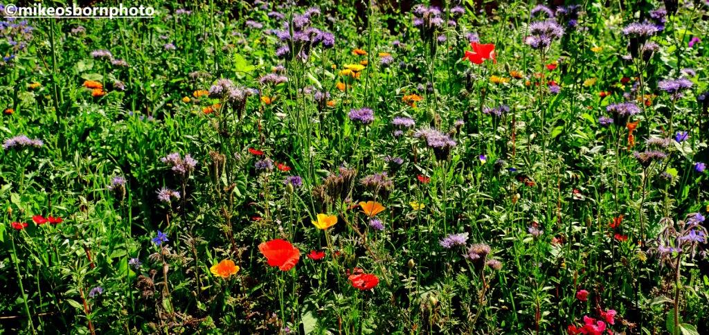 Wildflower patch in garden on Shugborough estate