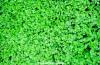 A cool carpet of clover at Walkden Gardens, Manchester