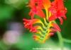Crocosmia flower at Walkden Gardens, Manchester