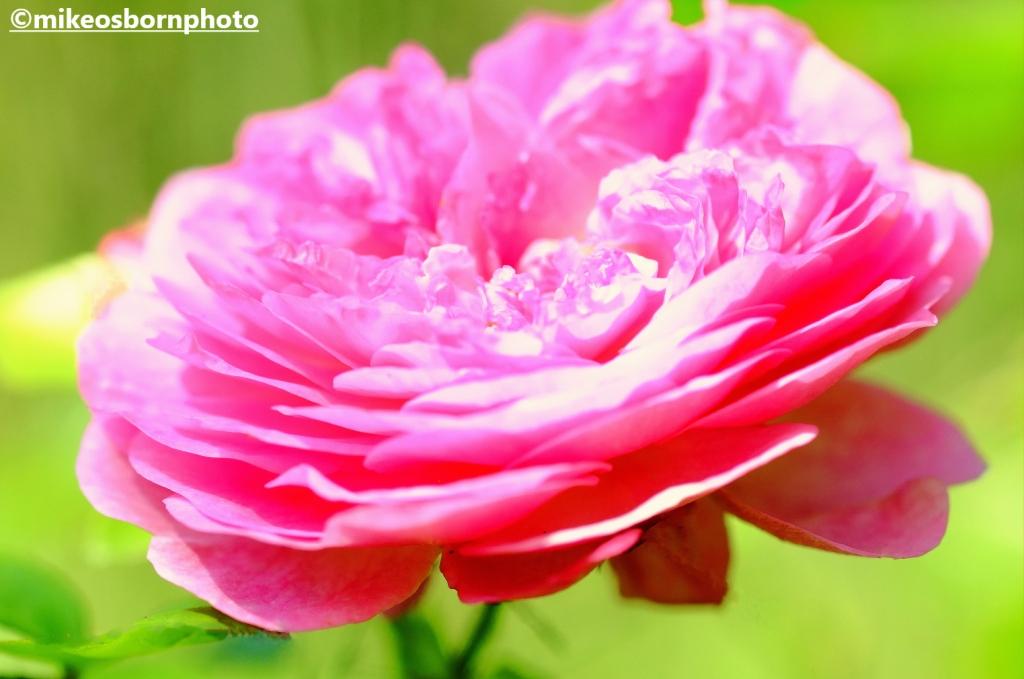 Stunning pink rose bloom at Walkden Gardens, Manchester