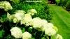 Big white pom-pom blooms at Walkden Gardens, Manchester