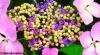 Budding hydrangea