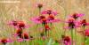 Vibrant pink daisies at Bodnant Garden, Wales