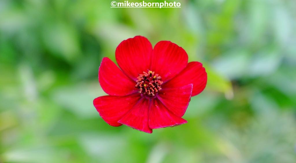 A single scarlet bloom at Bodnant Garden, Wales
