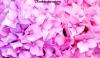 Vibrant pink hydrangea at Bodnant Garden, Wales